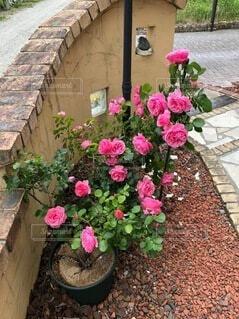 花,屋外,バラ,薔薇,植木鉢,地面,草木,ガーデン,ハイブリッドティーローズ