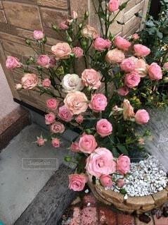 花,バラ,薔薇,植木鉢,草木,フロリバンダ,ハイブリッドティーローズ