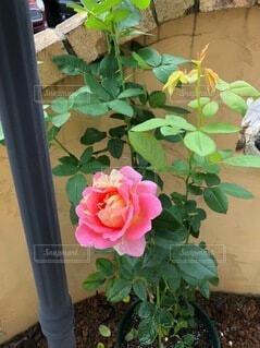 花,バラ,花びら,薔薇,草木,ガーデン,フロリバンダ,ハイブリッドティーローズ,常緑のバラ