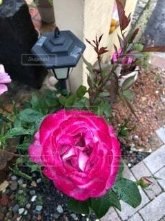 花,バラ,薔薇,草木,ガーデン
