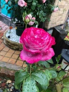 花,バラ,薔薇,植木鉢,草木,ガーデン,フロリバンダ,ハイブリッドティーローズ
