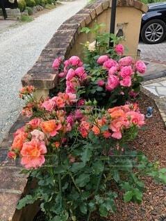 花,屋外,バラ,薔薇,植木鉢,地面,草木,ガーデン,フロリバンダ,ハイブリッドティーローズ