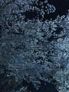 自然,桜,屋外,葉,樹木
