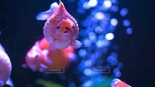 自然,夏,動物,魚,赤,熱帯魚,青,水,水族館,涼しい,水中,泡,生き物,水草,金魚,アクアリウム,真正面,水槽,きんぎょ,フォトジェニック,びっくり