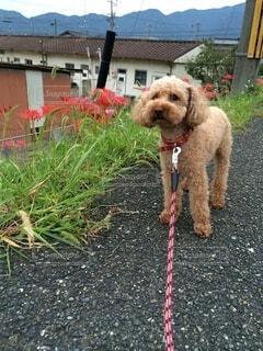 犬,散歩,彼岸花,トイプードル,愛犬,お彼岸