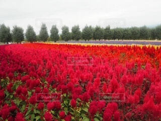 空,花,屋外,赤,景色,草,樹木