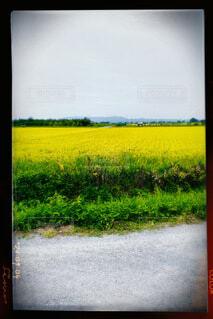 風景,花,黄色,田舎,景色,草,道,畑,草木,テキスト,菜種,マスタード