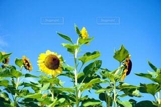 花,ひまわり,青い空