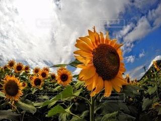 自然,風景,空,花,夏,緑,ひまわり,雲,黄色,景色
