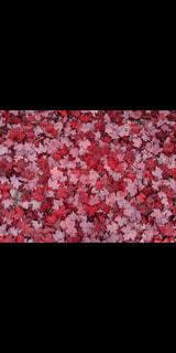 花,秋,紅葉,海外,葉,カエデ