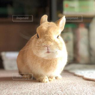 動物,うさぎ,屋内,かわいい,可愛い,ネザーランドドワーフ,笑い,ラビット,ウサギ,カワイイ,ネザーランド,バニー,にやけ