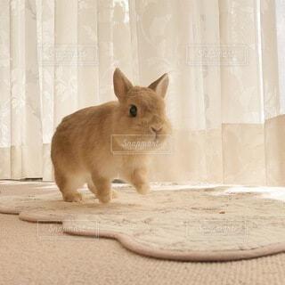 動物,うさぎ,かわいい,室内,可愛い,小動物,ネザーランドドワーフ,ラビット,カワイイ,ネザーランド
