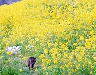 猫,花,春,お花畑,散歩,黄色,菜の花,新緑,野良猫,草木