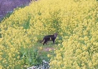 猫,花,春,動物,お花畑,屋外,黒,散歩,黄色,菜の花,樹木,新緑,野良猫,草木