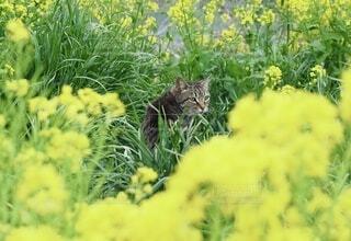 猫,動物,屋外,散歩,黄色,菜の花,新緑,野良猫