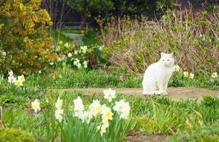 猫,動物,お花畑,屋外,散歩,白猫