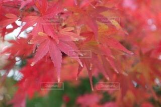 秋,紅葉,葉,もみじ,樹木,草木,こうよう