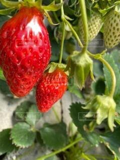 食べ物,いちご,フルーツ,果物,ベリー,スーパーフード,草木,イチゴ,自然食品,スーパーフルーツ