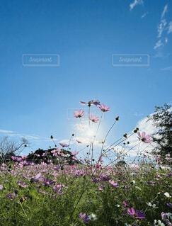 水色の青空と満開のコスモスの写真・画像素材[4915576]