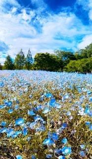 自然,風景,空,花,春,屋外,青い空,樹木,大地,ネモフィラ,草木