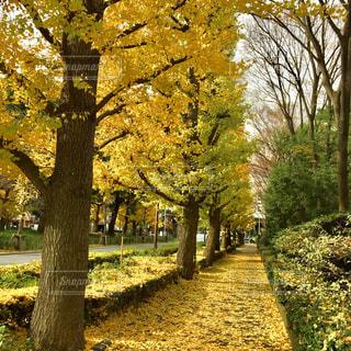 銀杏並木の写真・画像素材[1010012]