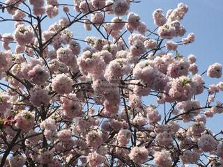 満開の八重桜の写真・画像素材[2835421]