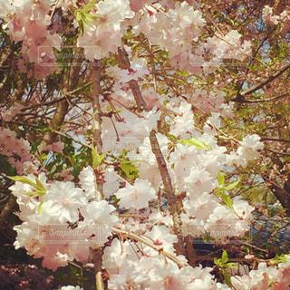 枝垂れ八重桜の写真・画像素材[2906478]