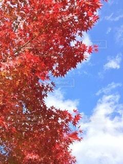 秋晴れの空ともみじの写真・画像素材[3830361]