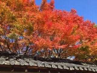 瓦の塀と紅葉の写真・画像素材[3830487]