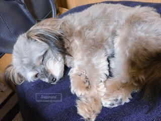 犬,動物,寝顔,癒し,可愛い,お昼寝,愛犬,チワプー,小型犬,もこもこ