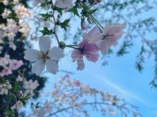 春,屋外,樹木,草木,桜の花,さくら,ブルーム,ブロッサム