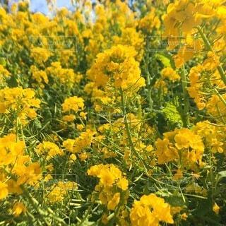 花,黄色,菜の花,草木,フローラ