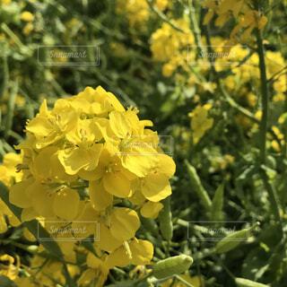 花,屋外,黄色,菜の花,樹木,草木,フローラ
