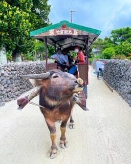 動物,屋外,牛,道路,地面,使役動物