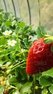果物,ベリー,草木,イチゴ