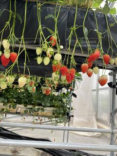花,花瓶,バラ,いちご,苺,薔薇,フルーツ,果物,植木鉢,観葉植物,花柄,イチゴ