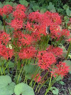 花,秋,赤,彼岸花,草木,アゲハ蝶