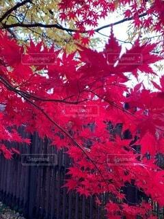 秋,赤,葉,樹木,草木,カエデ