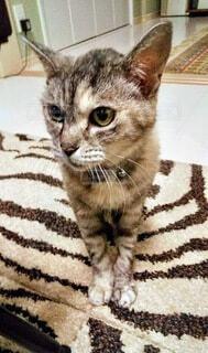 猫,動物,屋内,愛猫,ストライプ,ネコ科,流し目,敷物,縞々模様