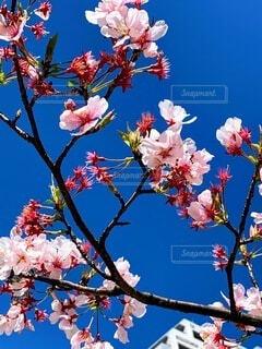 空,花,春,桜,青い空,鮮やか,樹木,草木,ブルーム,ブロッサム