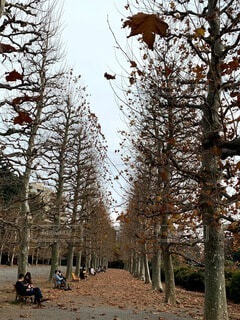 空,森林,屋外,散歩,黄色,樹木,人々,草木,晩秋,針葉樹,並木路