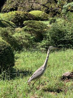 動物,鳥,屋外,緑,景色,草,樹木,立つ,鷺,草木,水鳥