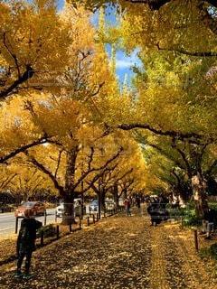 空,秋,屋外,葉,樹木,銀杏,街路樹,草木,黄葉