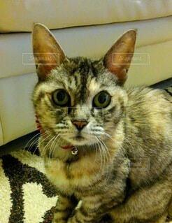 猫,動物,屋内,座る,愛猫,耳,目力