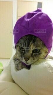 猫,動物,屋内,紫,被り物,ナス