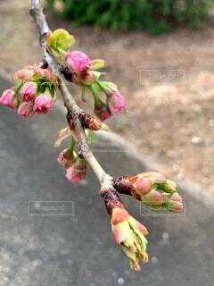 公園,花,桜,屋外,ピンク,枝,つぼみ,地面,草木,早春,黄緑