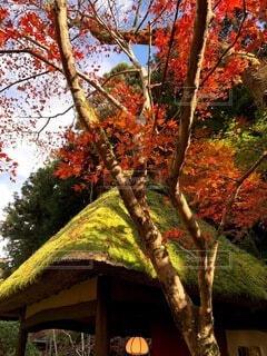 自然,風景,空,花,秋,紅葉,屋外,赤,夕暮れ,葉,木漏れ日,樹木,苔,日本家屋,草木,カエデ,茅葺き