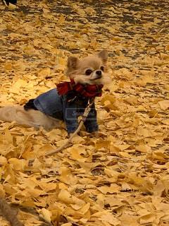 犬,動物,屋外,散歩,黄色,銀杏,地面,カーペット,黄葉