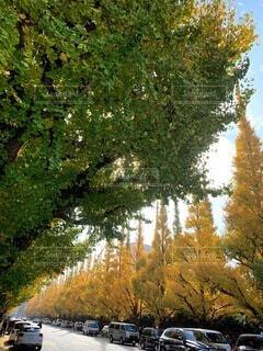 自然,空,秋,屋外,青空,散歩,葉,景色,樹木,銀杏,草木,黄葉