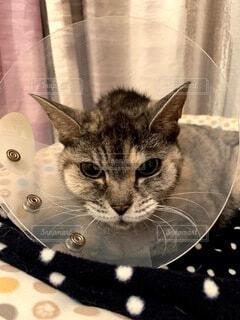 猫,動物,屋内,不機嫌,エリザベスカラー,手術後